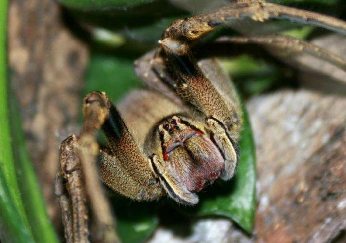 Jak na poruchu erekce? Vědci zkoumají pavoučí jed