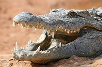 Stejný účinek jako krokodýlí trus měl údajně i trus sloní. Nevábná vaginální pasta měla zabránit početí..
