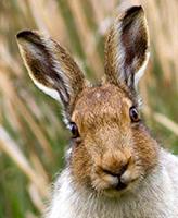 Zajíce dokázali ve středověku zpracovat do posledního kousku. Včetně análního otvoru.