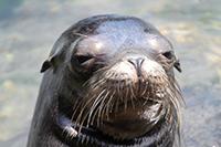 Mladým samcům lachtanů kalifornských nezbývá nic jiného, než se ukájet při pohledu na sexuální radovánky starších samců.