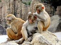 Samice makaků rády nabídnou za vybrání blech z kožichu sexuální protislužbu.