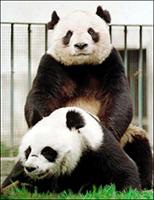 Sledování porna má pandám pomoci zvýšit sexuální apetit.