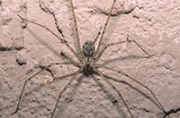 Samice pavouků Physocyclus globulus plodí potomky s parterem, který je nejlépe uspokojil.