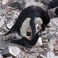 Páření tučňáků kroužkových nemá žádná pravidla – samci nepohrdnou ani vlastním potomkem nebo mrtvou samicí.