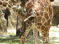 Samec žirafy ochutnává moč samice aby zjistil, zda je připravena na početí.