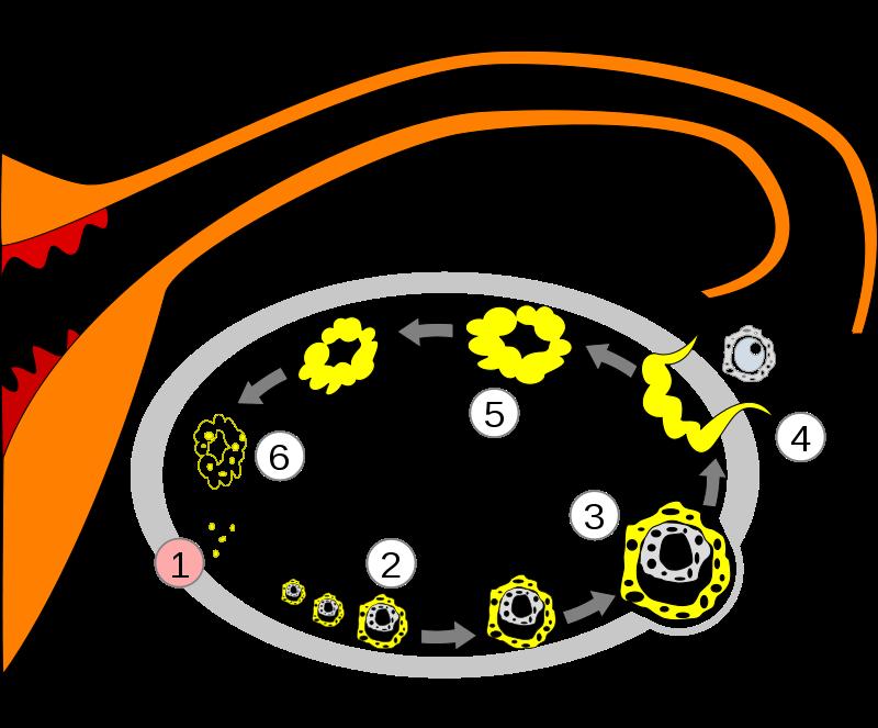 Změny ve vaječníku během menstruačního cyklu