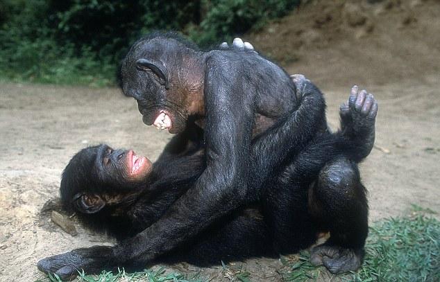 soulož šimpanzů bonobo