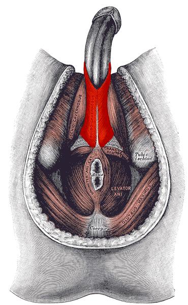 Sval bulbospongiosus