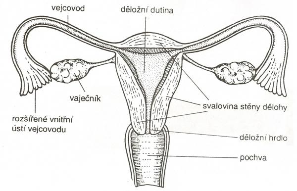 Děložní schéma
